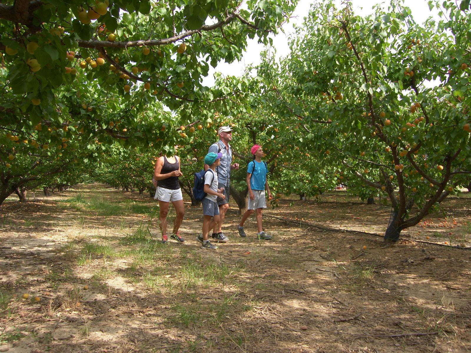 Les abricots du Roussillon